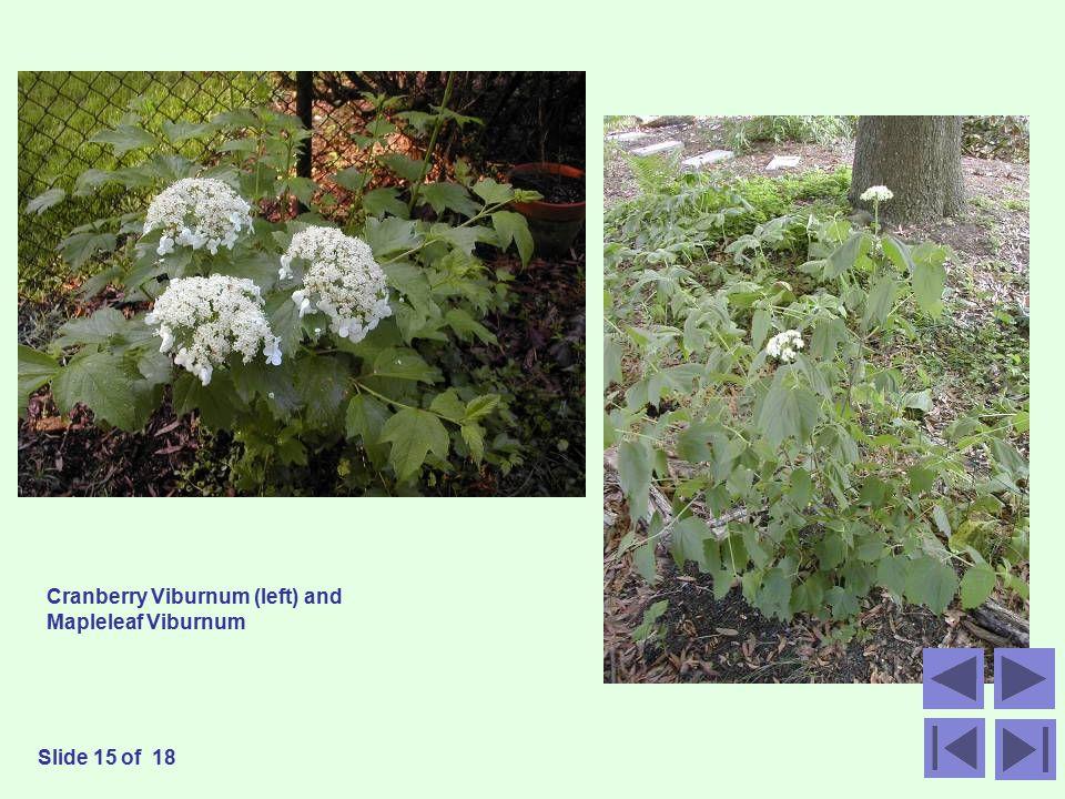 Cranberry Viburnum (left) and Mapleleaf Viburnum Slide 15 of 18