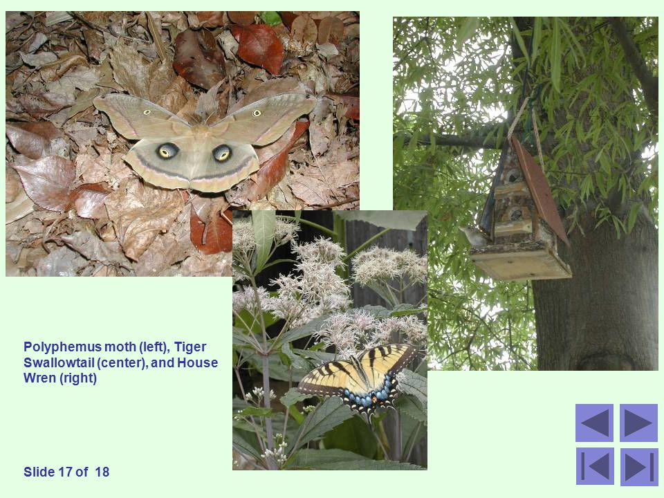 Polyphemus moth (left), Tiger Swallowtail (center), and House Wren (right) Slide 17 of 18