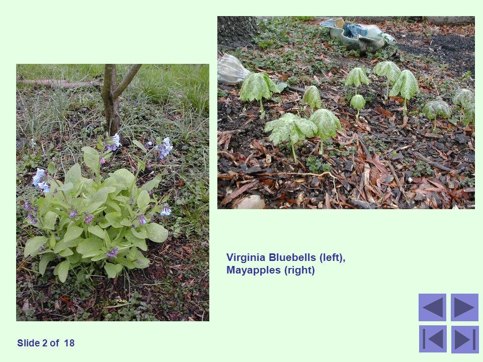 Virginia Bluebells (left), Mayapples (right) Slide 2 of 18