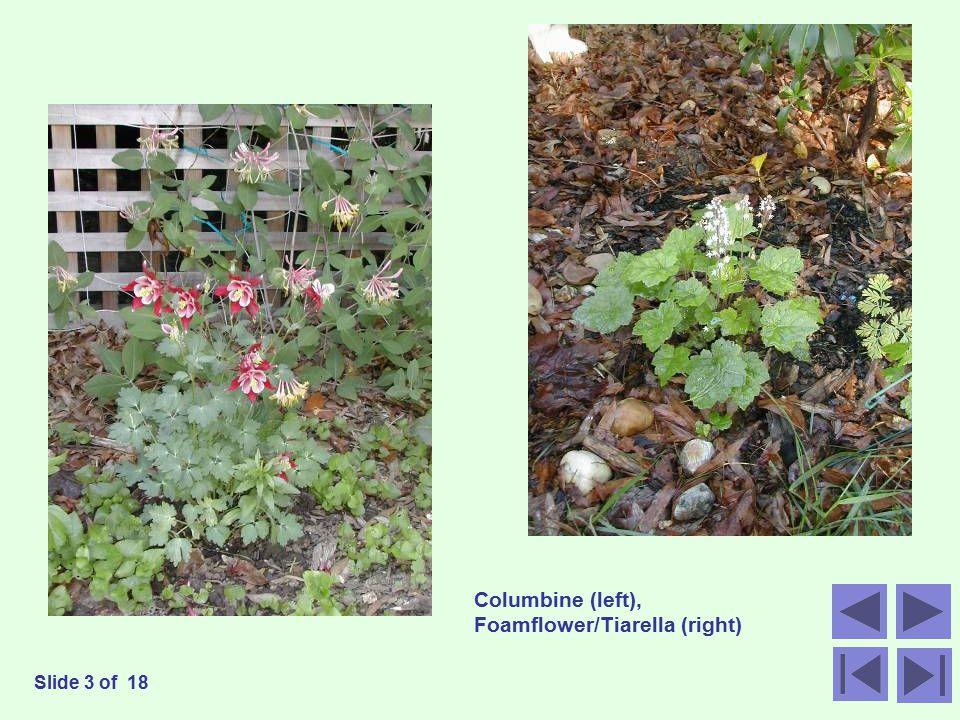 Columbine (left), Foamflower/Tiarella (right) Slide 3 of 18