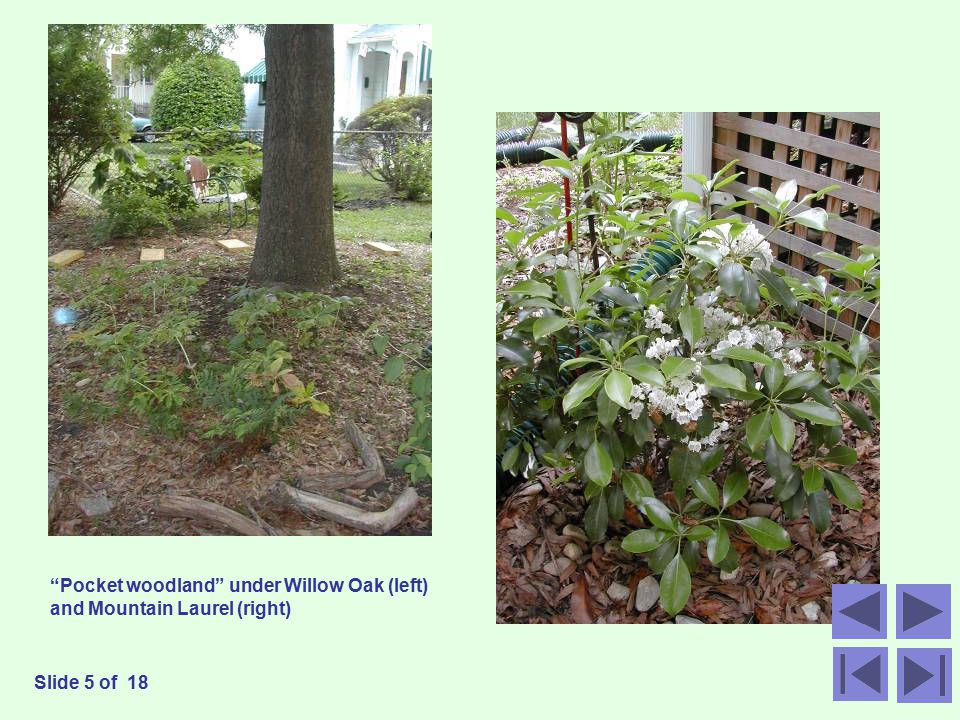 Pocket woodland under Willow Oak (left) and Mountain Laurel (right) Slide 5 of 18