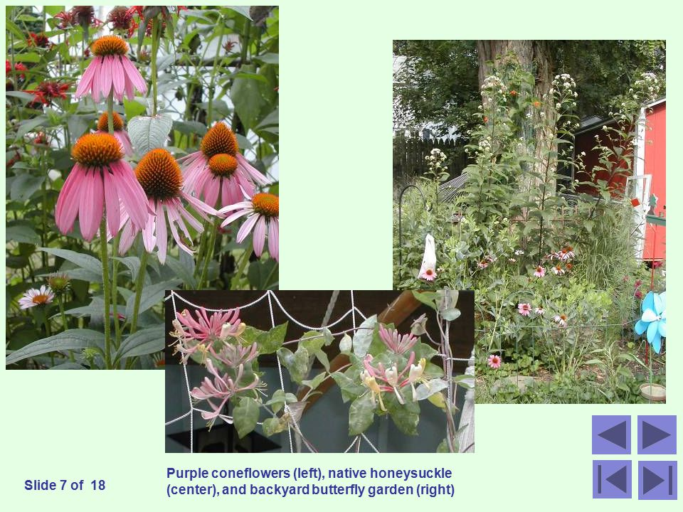 Purple coneflowers (left), native honeysuckle (center), and backyard butterfly garden (right) Slide 7 of 18