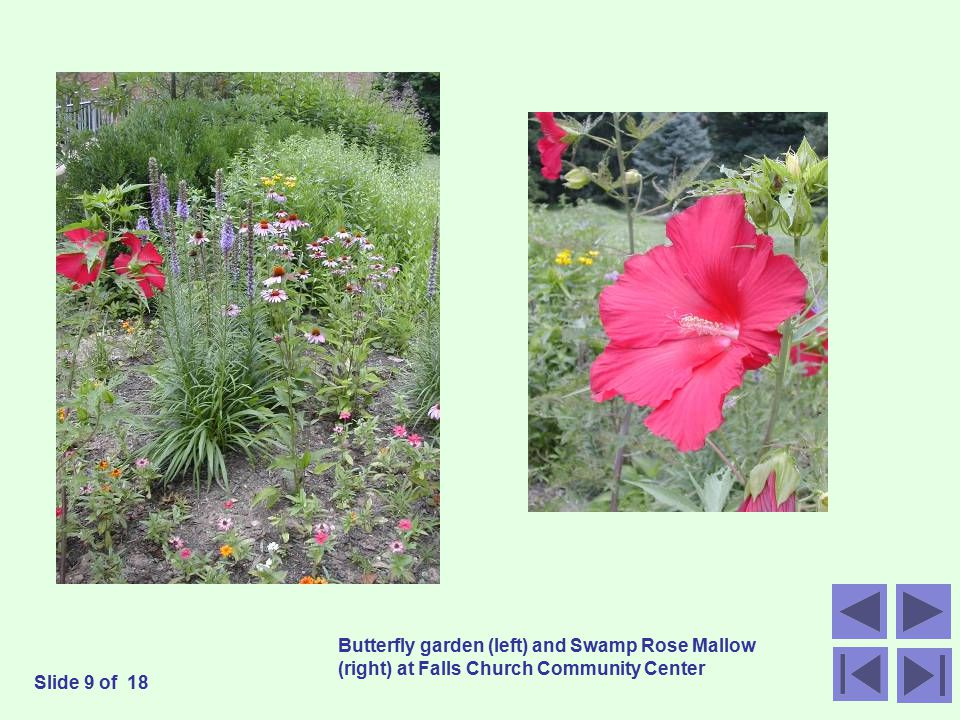 Butterfly garden (left) and Swamp Rose Mallow (right) at Falls Church Community Center Slide 9 of 18