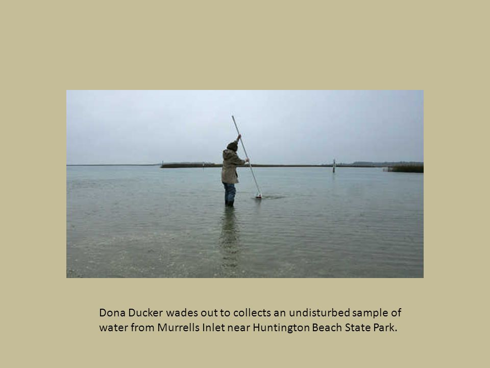 Dona Ducker wades out to collects an undisturbed sample of water from Murrells Inlet near Huntington Beach State Park.