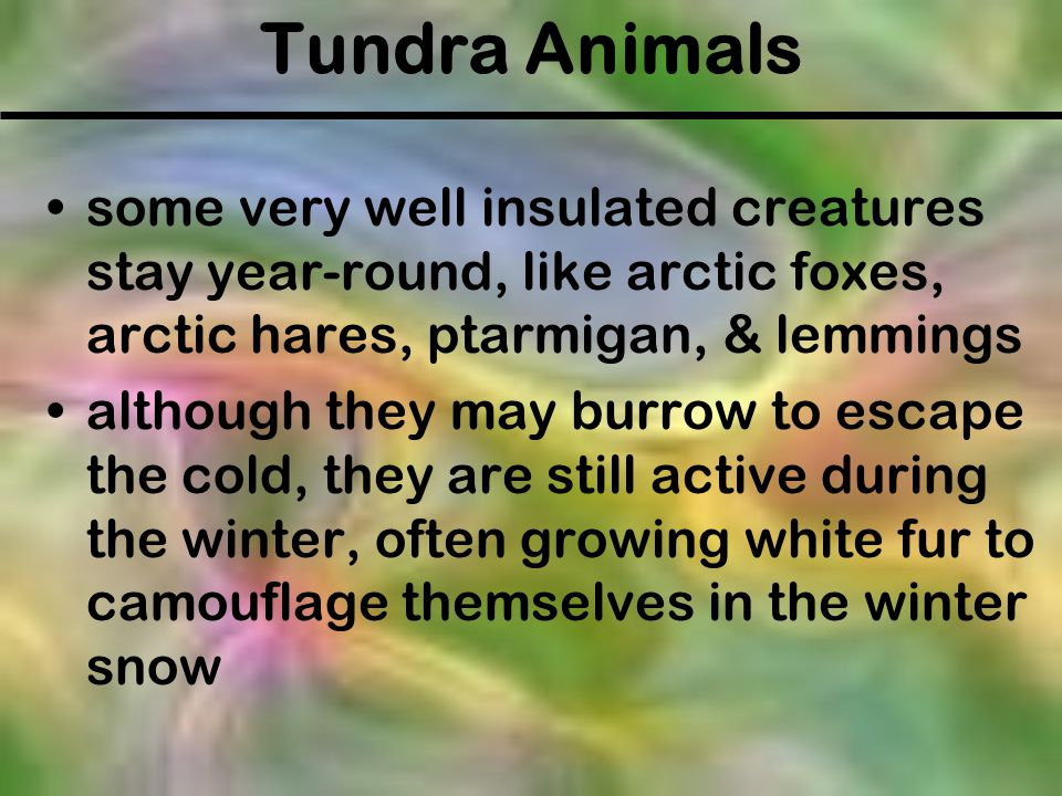 Tundra Animals some very well insulated creatures stay year-round, like arctic foxes, arctic hares, ptarmigan, & lemmings although they may burrow to