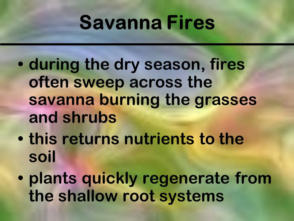 Savanna Fires during the dry season, fires often sweep across the savanna burning the grasses and shrubs this returns nutrients to the soil plants qui