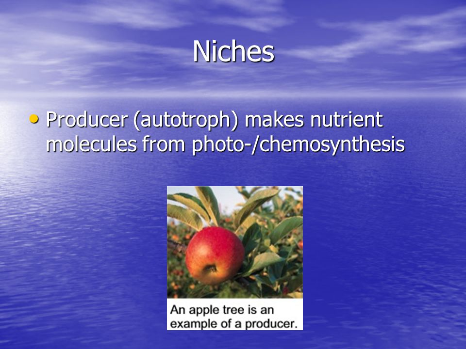 Niches Consumer – obtains nutrient molecules by eating another organism Consumer – obtains nutrient molecules by eating another organism 1 st order – herbivore; eats photosynthetic plants 1 st order – herbivore; eats photosynthetic plants 2 nd order – carnivore; eats flesh of herbivore 2 nd order – carnivore; eats flesh of herbivore Tertiary – carnivore/omnivore; eats flesh of carnivore/omnivore Tertiary – carnivore/omnivore; eats flesh of carnivore/omnivore Omnivore – eats both plant and animal material Omnivore – eats both plant and animal material