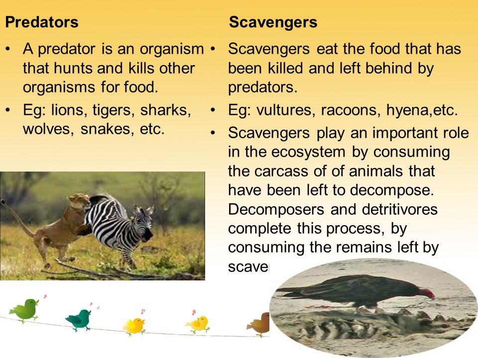 Predators A predator is an organism that hunts and kills other organisms for food. Eg: lions, tigers, sharks, wolves, snakes, etc. Scavengers Scavenge