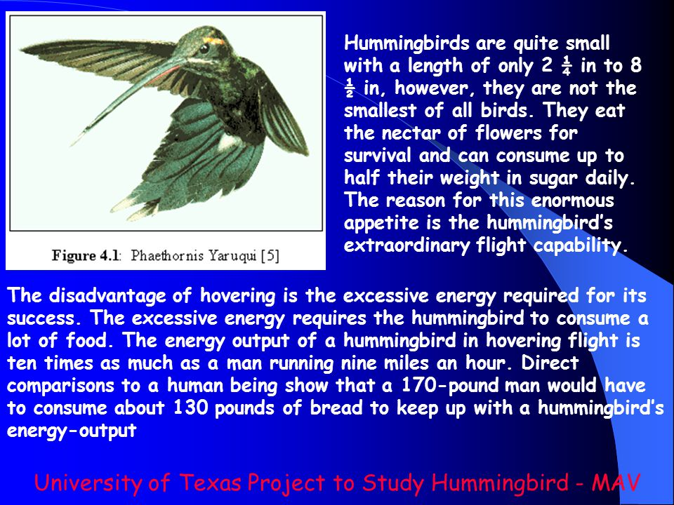 Hummingbirds are quite small with a length of only 2 ¼ in to 8 ½ in, however, they are not the smallest of all birds. They eat the nectar of flowers f
