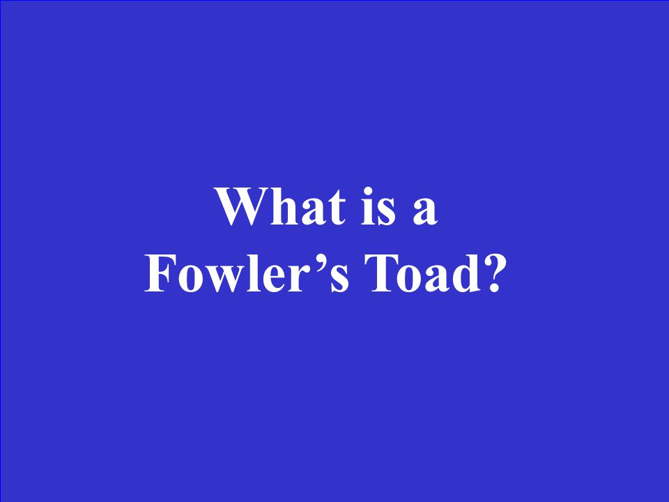 This toad is brown or grayish in color with a middorsal stripe. It has a wide ranging habitat from mountains to the urban areas. Has a harsh musical t