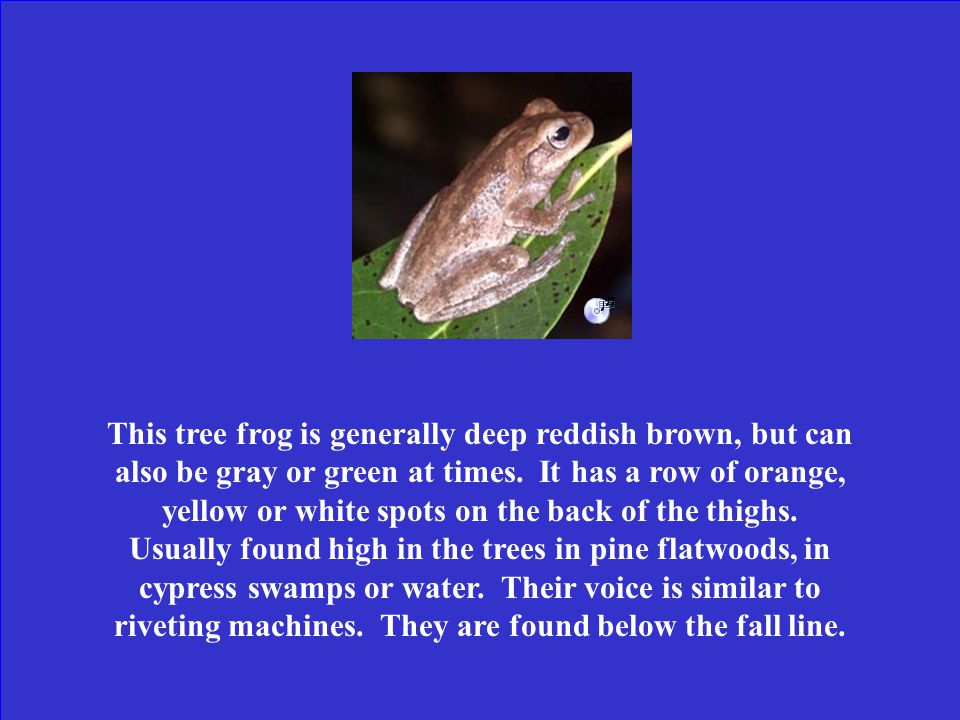 What is a squirrel tree frog?
