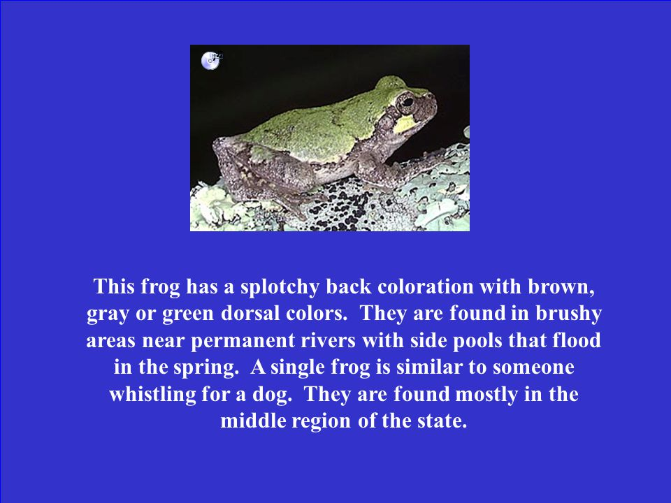 What is the pine woods tree frog?