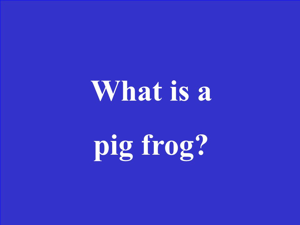 This is a large frog with olive to dark brown skin color with dark dorsal spots. Its head is narrow and pointed. It lives in large bodies of water, fo