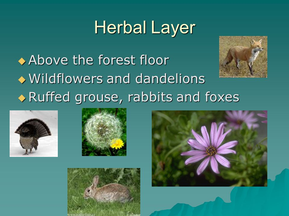 Herbal Layer  Above the forest floor  Wildflowers and dandelions  Ruffed grouse, rabbits and foxes