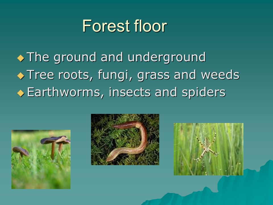 Forest floor  The ground and underground  Tree roots, fungi, grass and weeds  Earthworms, insects and spiders