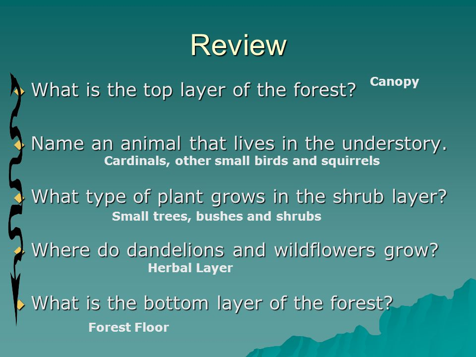  What is the top layer of the forest?  Name an animal that lives in the understory.  What type of plant grows in the shrub layer?  Where do dandel