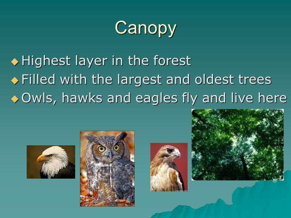 Canopy  Highest layer in the forest  Filled with the largest and oldest trees  Owls, hawks and eagles fly and live here