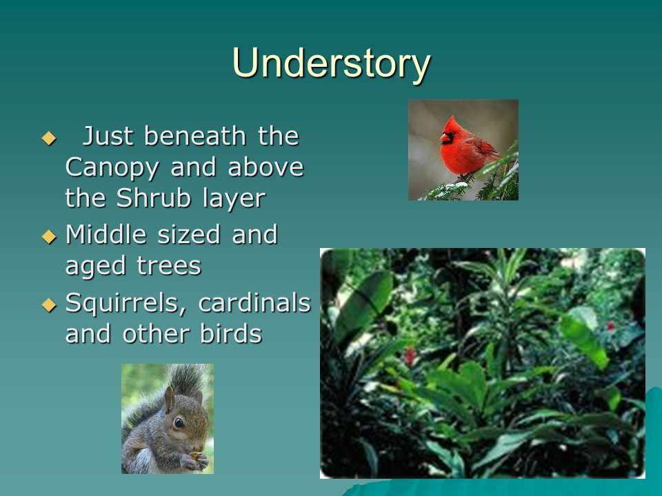 Understory  Just beneath the Canopy and above the Shrub layer  Middle sized and aged trees  Squirrels, cardinals and other birds