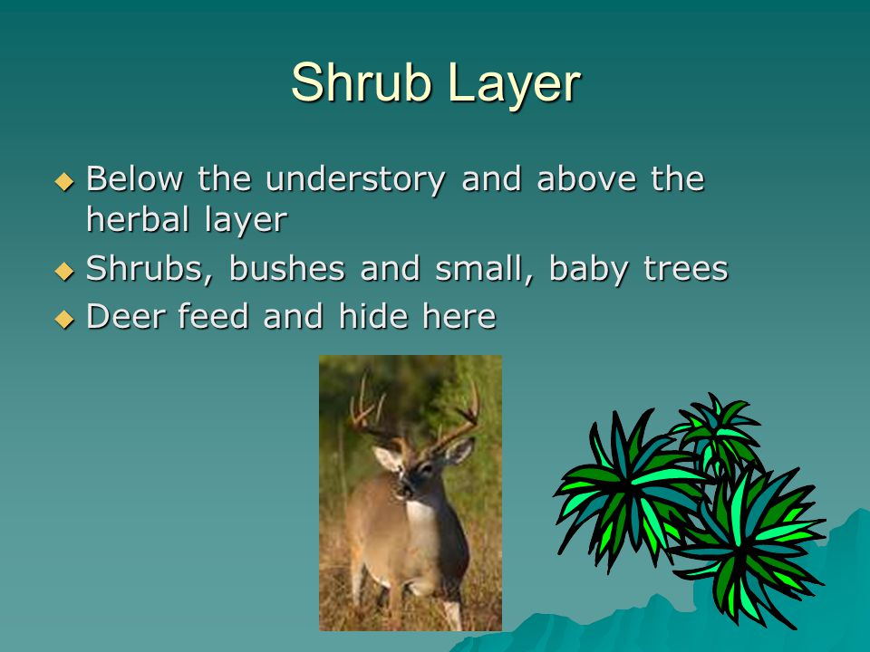Shrub Layer  Below the understory and above the herbal layer  Shrubs, bushes and small, baby trees  Deer feed and hide here