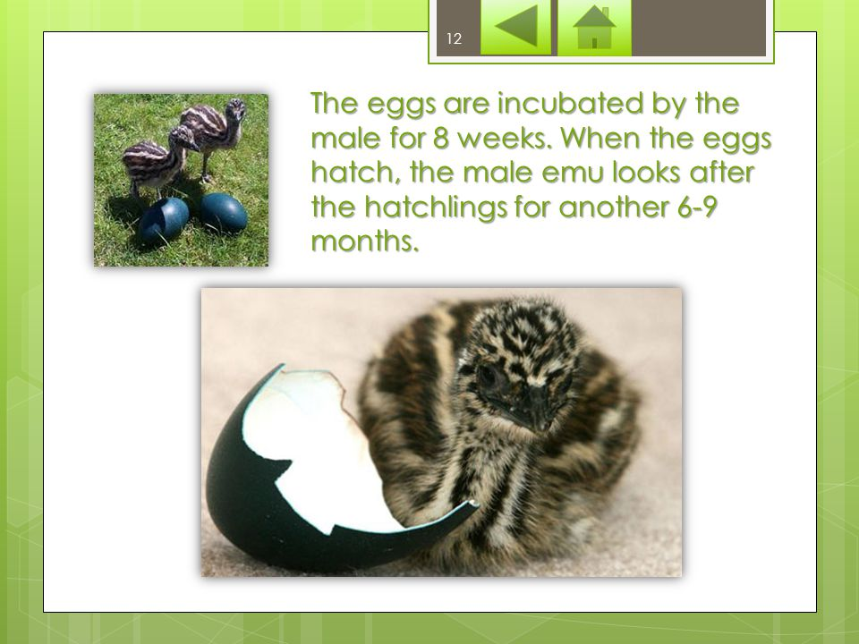 The female lays eggs on the 1 meter wide nest which is built of grass and weeds on the ground by the male.