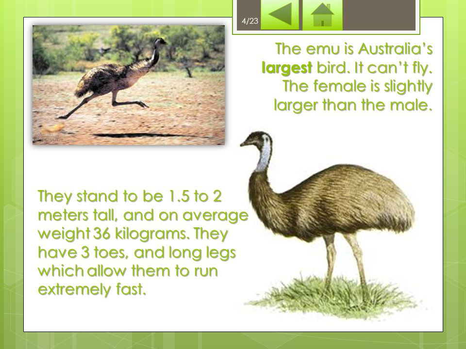 They stand to be 1.5 to 2 meters tall, and on average weight 36 kilograms.