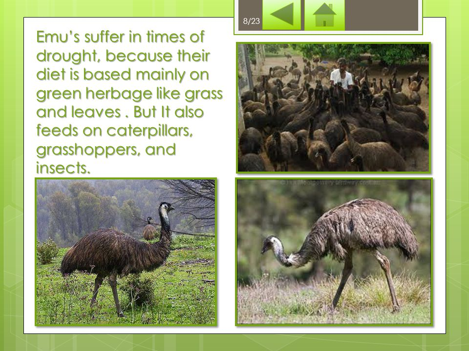 What does emu's diet include? herbage insects herbage and insects 18/23