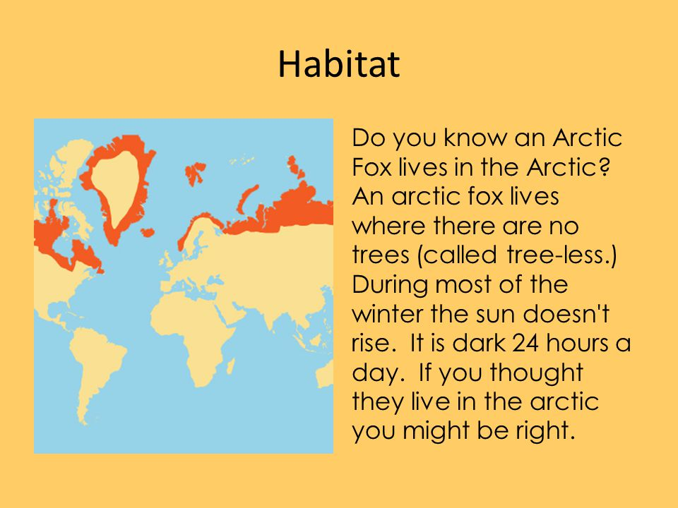 Habitat Do you know an Arctic Fox lives in the Arctic? An arctic fox lives where there are no trees (called tree-less.) During most of the winter the