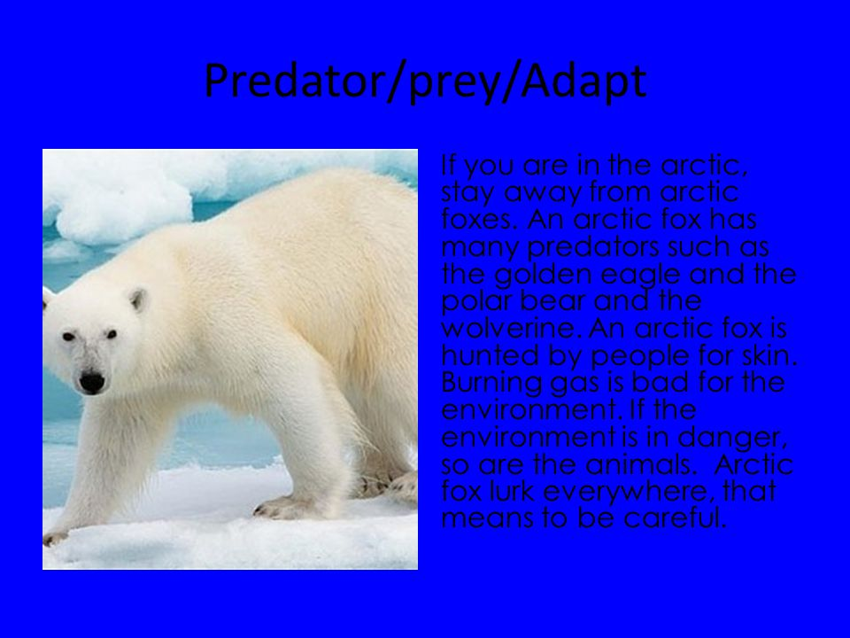 Predator/prey/Adapt If you are in the arctic, stay away from arctic foxes. An arctic fox has many predators such as the golden eagle and the polar bea