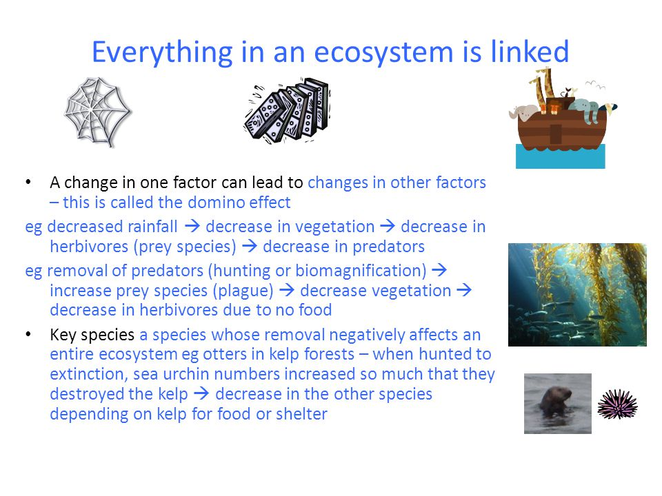 Changes in ecosystems – human interference Human presence  disrupts ecosystems in many ways including: Loss of predators  removal of predators (sg spiders, wolves) can lead to population explosions of prey species Introduction of new carnivore  eg foxes, cats, dogs  loss of native wildlife Introduction of new herbivore  eg rabbit, sheep, may out- compete natives  loss of native species; may cause over grazing as no native predators  erosion Introduction of new producer  eg brambles, prickly pear, may out compete natives (as often not edible to consumers)  loss of native plant and animal species (now not enough food for them); aquatic plants eg duckweed may block rivers