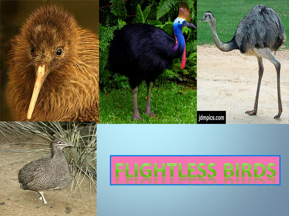 The average speed of emus is about 50kmh.Which is as fast as a kangaroo.