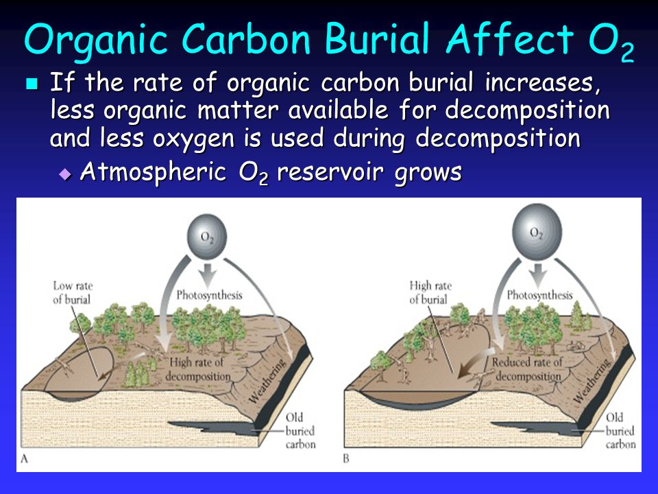 Organic Carbon Burial Affect O 2 If the rate of organic carbon burial increases, less organic matter available for decomposition and less oxygen is used during decomposition If the rate of organic carbon burial increases, less organic matter available for decomposition and less oxygen is used during decomposition  Atmospheric O 2 reservoir grows