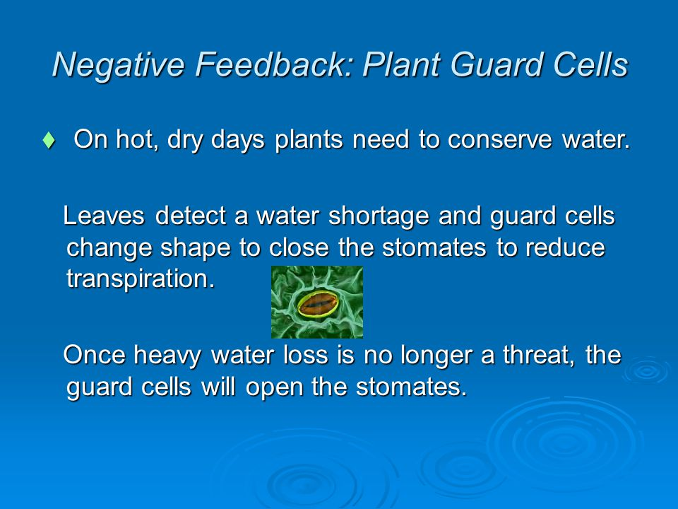 Negative Feedback: Plant Guard Cells  On hot, dry days plants need to conserve water.