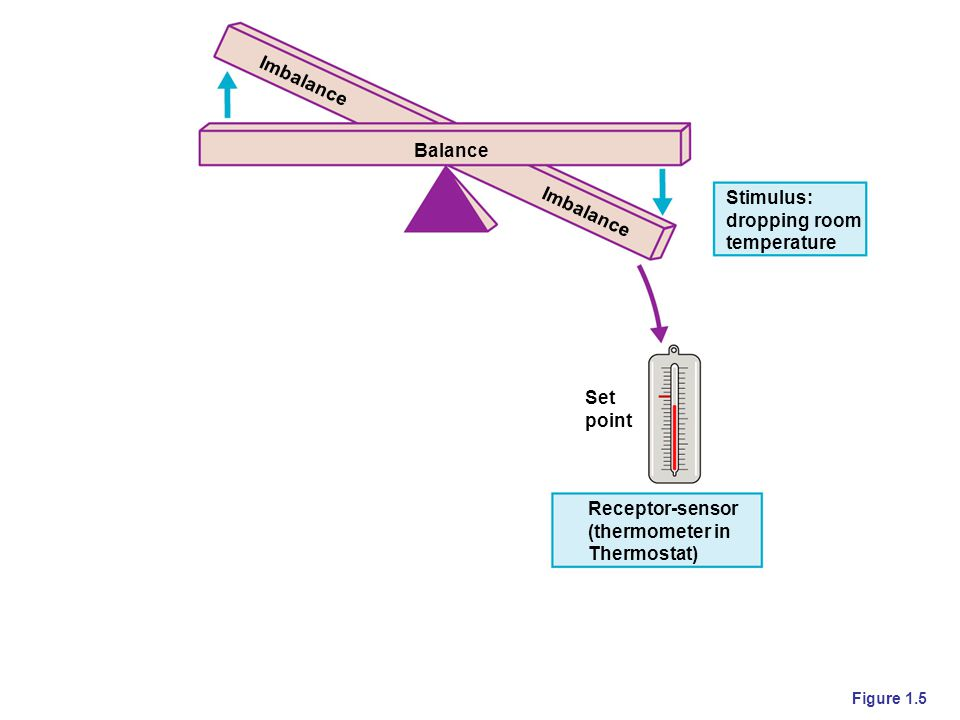 Copyright © 2006 Pearson Education, Inc., publishing as Benjamin Cummings Figure 1.5 Stimulus: dropping room temperature Balance Set point Receptor-se