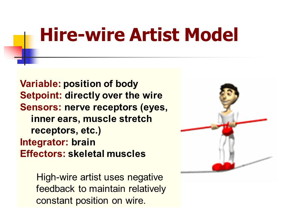 Hire-wire Artist Model Variable: position of body Setpoint: directly over the wire Sensors: nerve receptors (eyes, inner ears, muscle stretch receptor