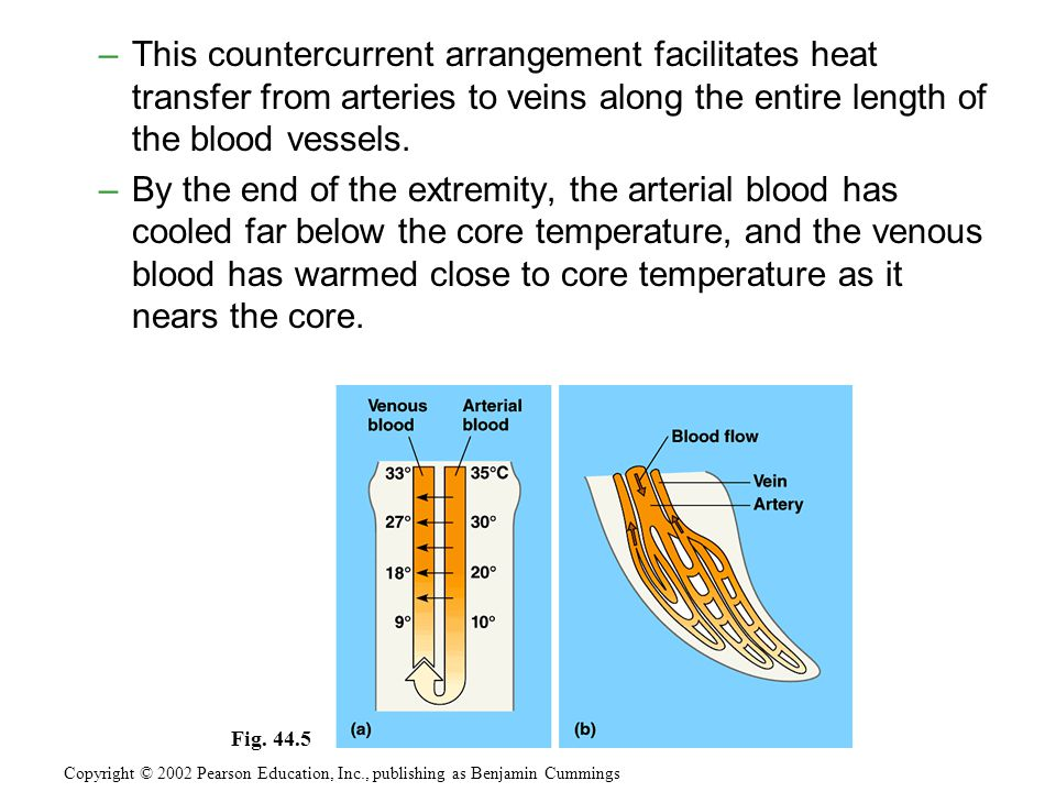 –This countercurrent arrangement facilitates heat transfer from arteries to veins along the entire length of the blood vessels.