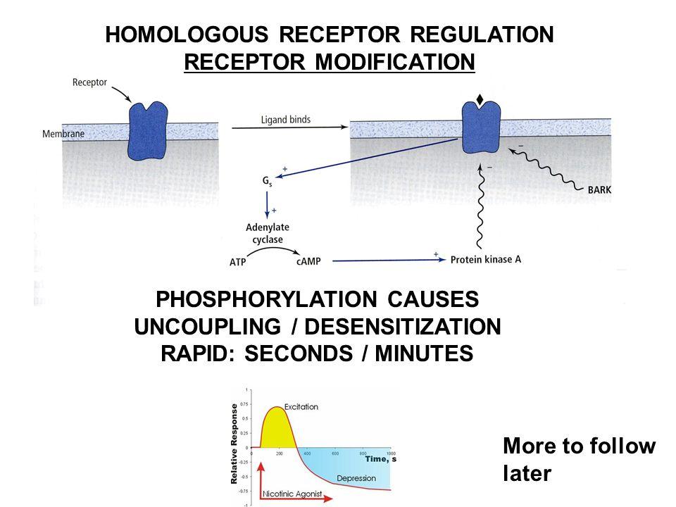 HOMOLOGOUS RECEPTOR REGULATION RECEPTOR MODIFICATION PHOSPHORYLATION CAUSES UNCOUPLING / DESENSITIZATION RAPID: SECONDS / MINUTES More to follow later