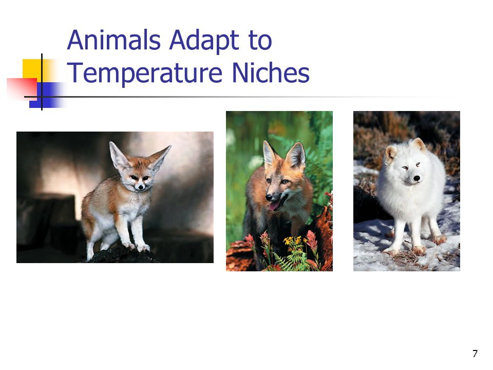 7 Animals Adapt to Temperature Niches Adaptations to temperature may include slim vs. stocky bodies and length of limbs, ears and tails. © Royalty-fre