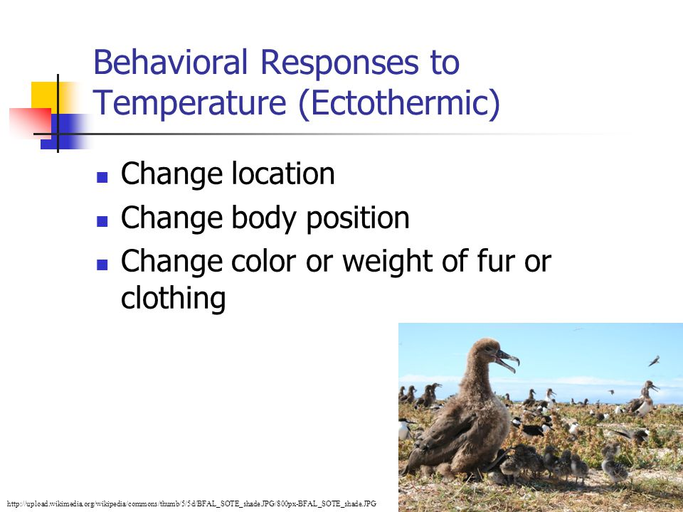 8 Behavioral Responses to Temperature (Ectothermic) Change location Change body position Change color or weight of fur or clothing http://upload.wikim