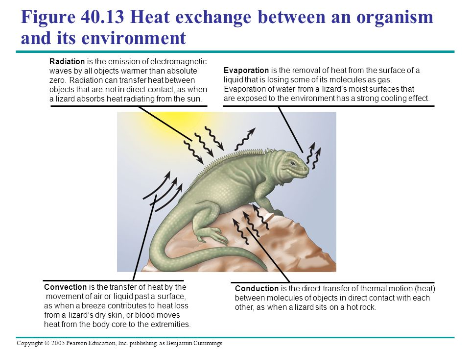 Copyright © 2005 Pearson Education, Inc. publishing as Benjamin Cummings Figure 40.13 Heat exchange between an organism and its environment Radiation