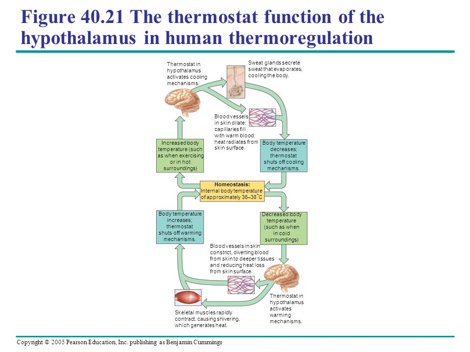 Copyright © 2005 Pearson Education, Inc. publishing as Benjamin Cummings Figure 40.21 The thermostat function of the hypothalamus in human thermoregul
