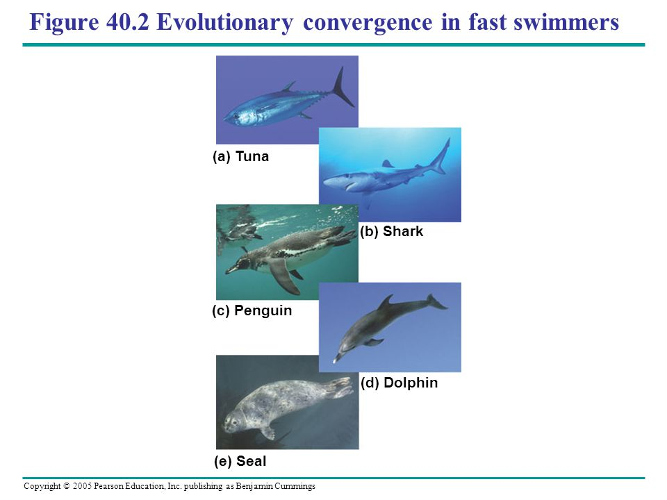 Copyright © 2005 Pearson Education, Inc. publishing as Benjamin Cummings Figure 40.2 Evolutionary convergence in fast swimmers (a) Tuna (b) Shark (c)