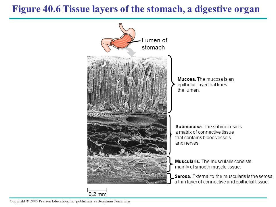Copyright © 2005 Pearson Education, Inc. publishing as Benjamin Cummings Figure 40.6 Tissue layers of the stomach, a digestive organ Lumen of stomach