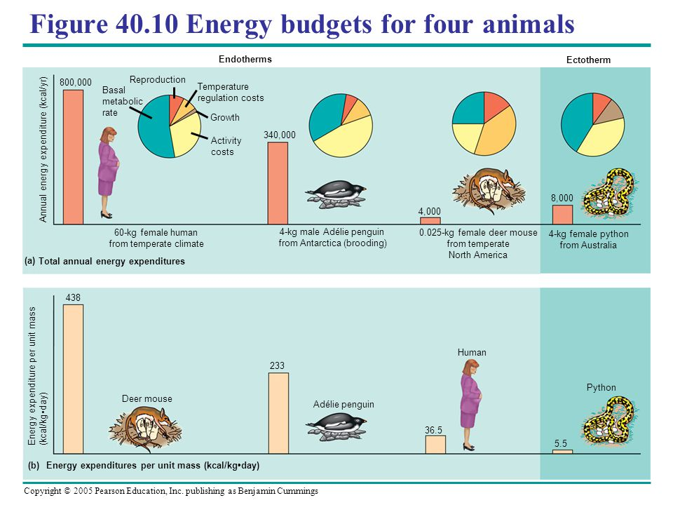 Copyright © 2005 Pearson Education, Inc. publishing as Benjamin Cummings Figure 40.10 Energy budgets for four animals Endotherms Ectotherm Annual ener
