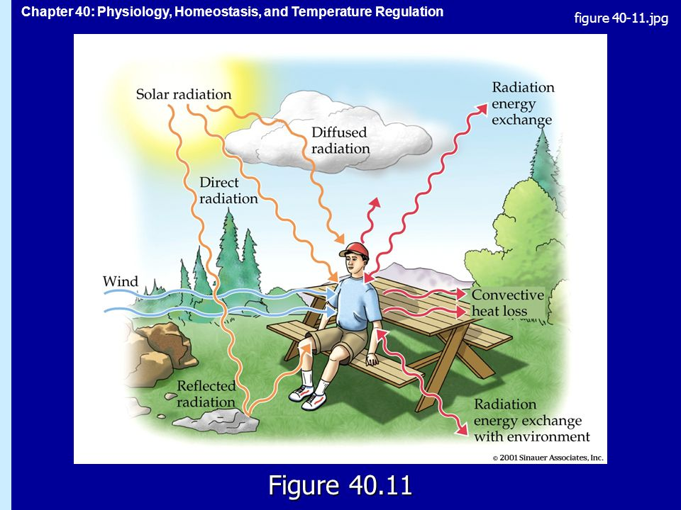 Chapter 40: Physiology, Homeostasis, and Temperature Regulation Figure figure jpg