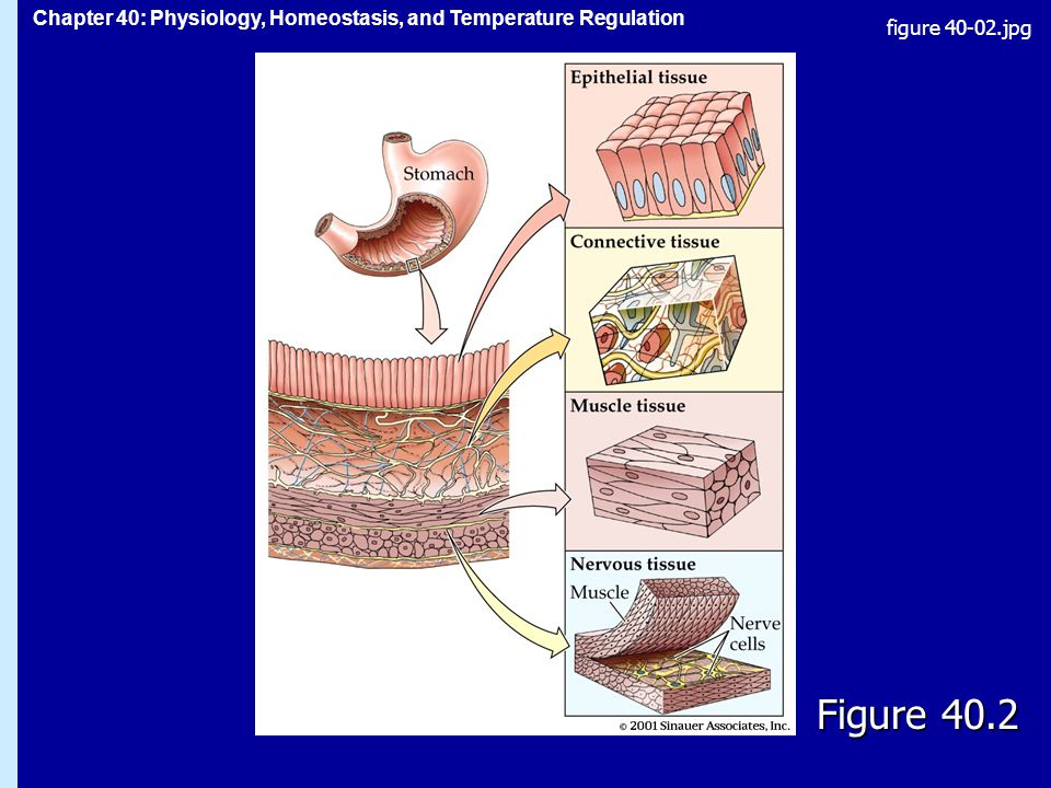 Chapter 40: Physiology, Homeostasis, and Temperature Regulation Figure 40.2 figure jpg
