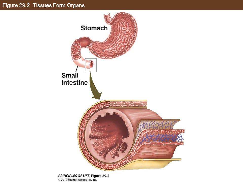 Figure 29.2 Tissues Form Organs