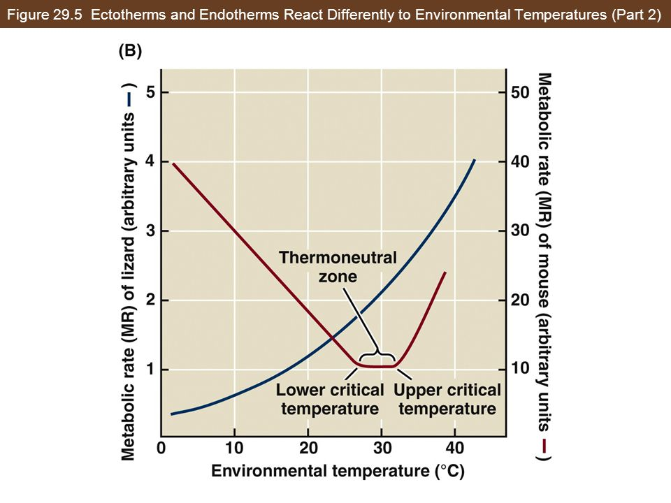 Figure 29.5 Ectotherms and Endotherms React Differently to Environmental Temperatures (Part 2)