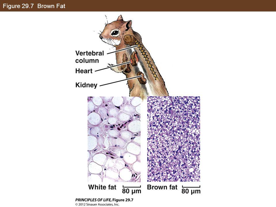 Figure 29.7 Brown Fat