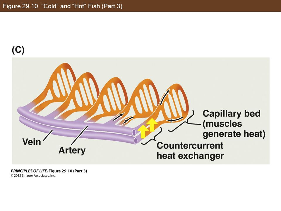 """Figure 29.10 """"Cold"""" and """"Hot"""" Fish (Part 3)"""