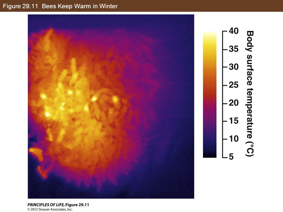 Figure 29.11 Bees Keep Warm in Winter
